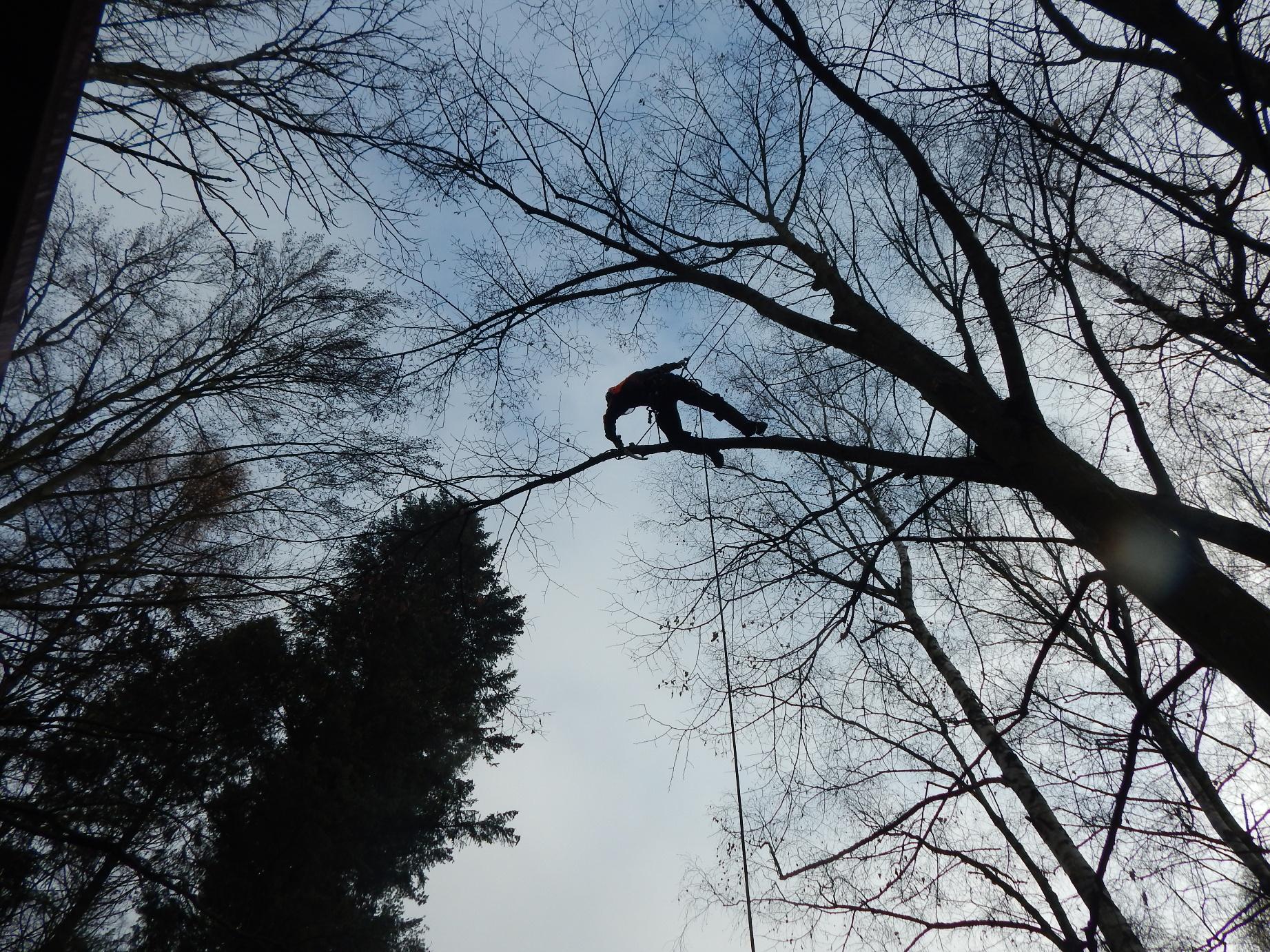 kácení-stromu